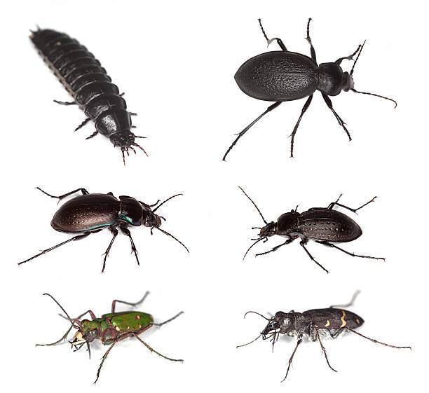 European ground beetles​​​ foto