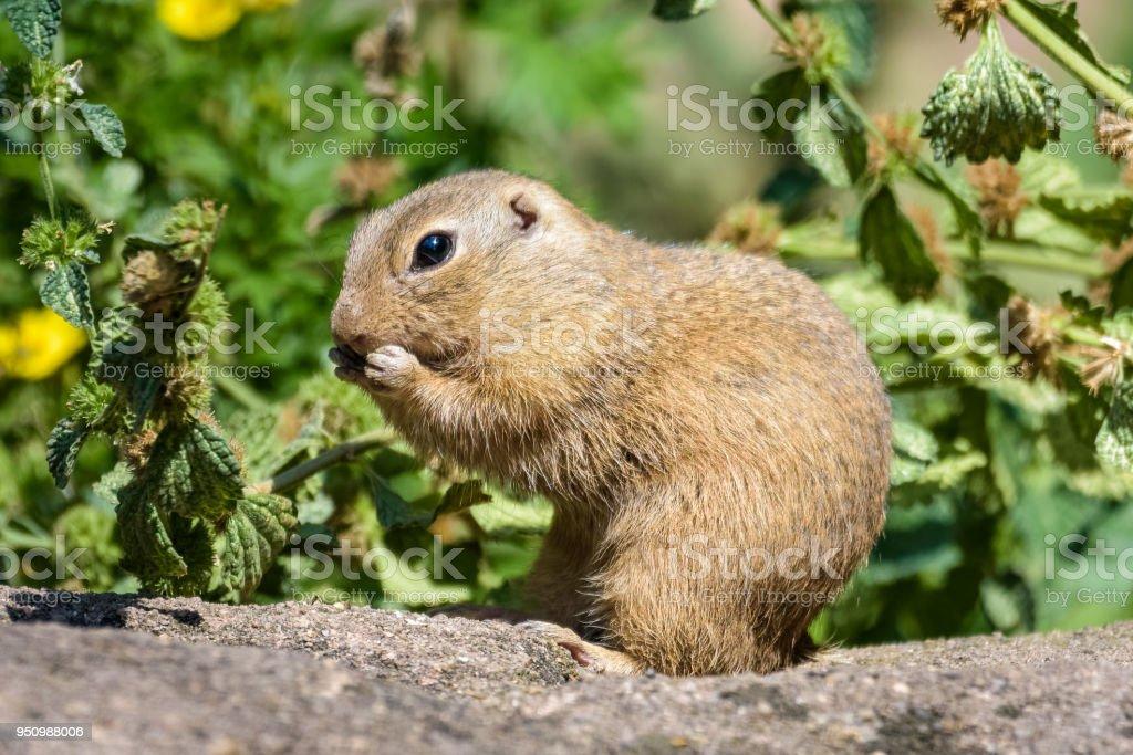 European ground squirrel eating grass stock photo