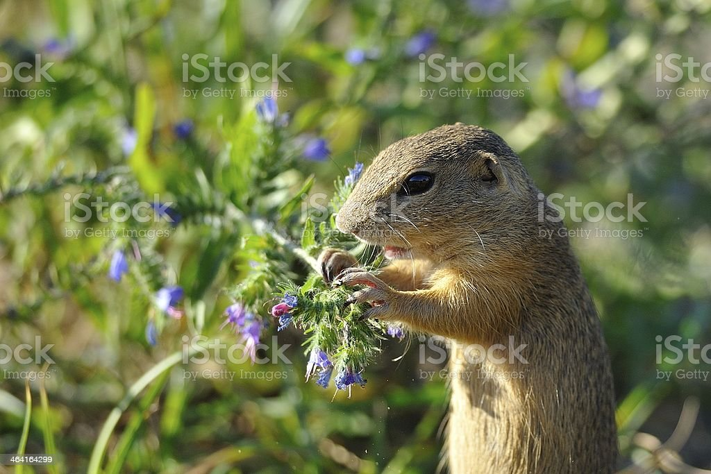 European ground squirrel in the flowers stock photo