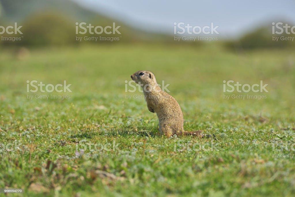 European ground squirrel standing in the grass. Wildlife scene from...
