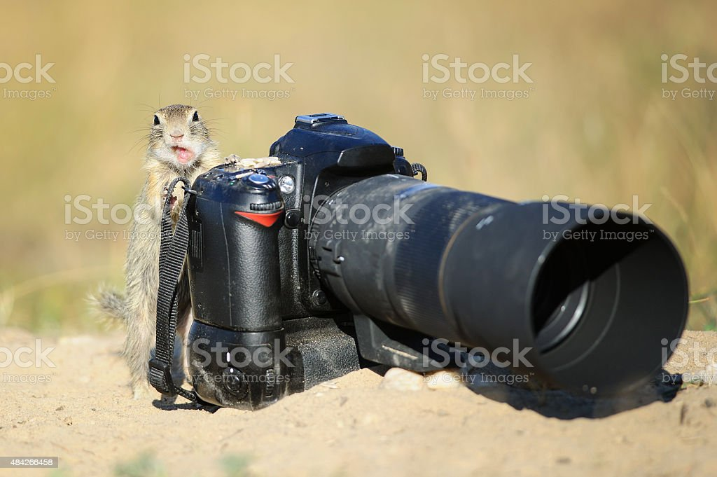 European ground squirrel with professional camera and open mouth stock photo