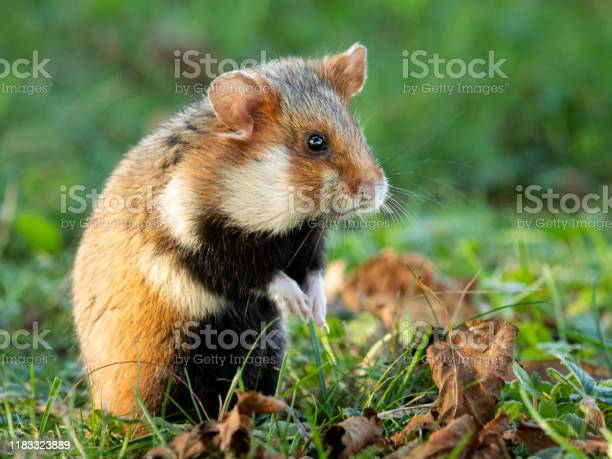 European hamster in a meadow looking for food picture id1183323889?b=1&k=6&m=1183323889&s=612x612&h=hss2lcvbjfgfuepgewmbruw ieezct1zqw0icf02csi=