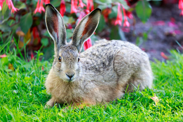 European Hare (Lepus Europaeus) Close-up. stock photo