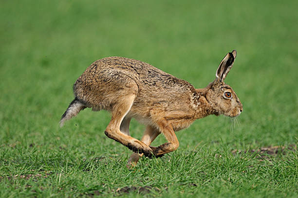European hare, Lepus europaeus stock photo