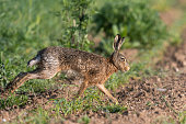 European hare running on a field.