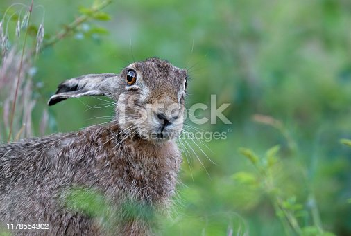 Portrait of a curious european hare.