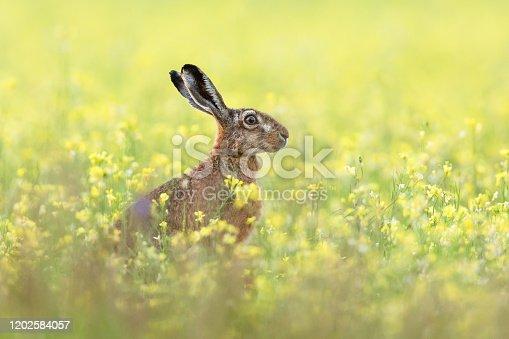 istock European hare 1202584057