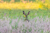 European hare hiding in a meadow.