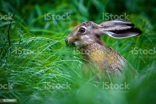 European hare picture id182396801?b=1&k=6&m=182396801&s=612x612&h=pswqawurfo4v7obtkkkwgivmagmkjpoulfpx4eshypo=