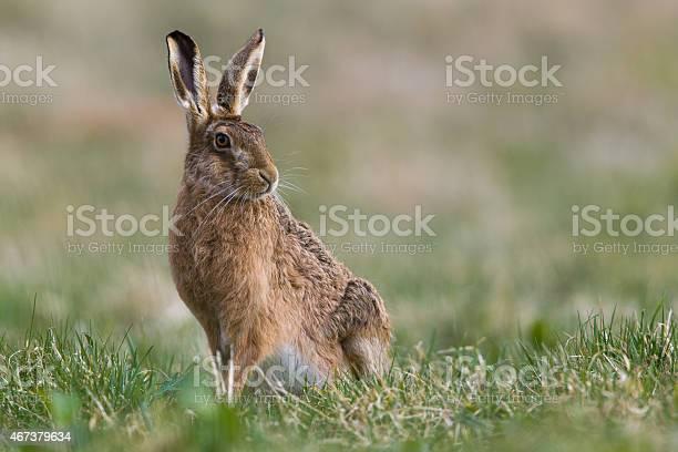 European hare picture id467379634?b=1&k=6&m=467379634&s=612x612&h=i8oekqjapu89onspfbd75pp4hb2ugqmwey9n73mtfqy=