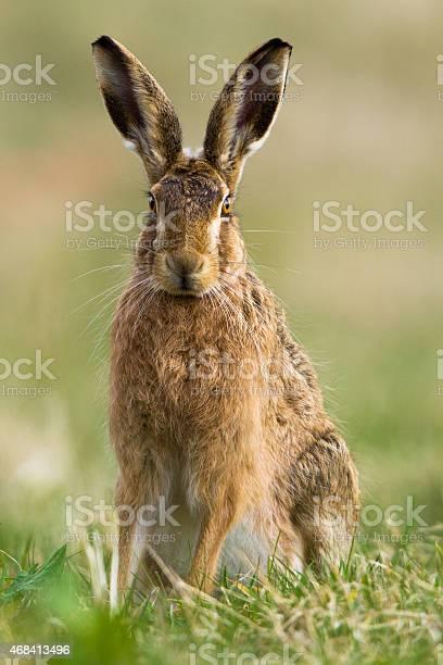 European hare picture id468413496?b=1&k=6&m=468413496&s=612x612&h=ijdjbyleyl3denmubcdyinmkqofv0zlsvv8cdhcm wm=