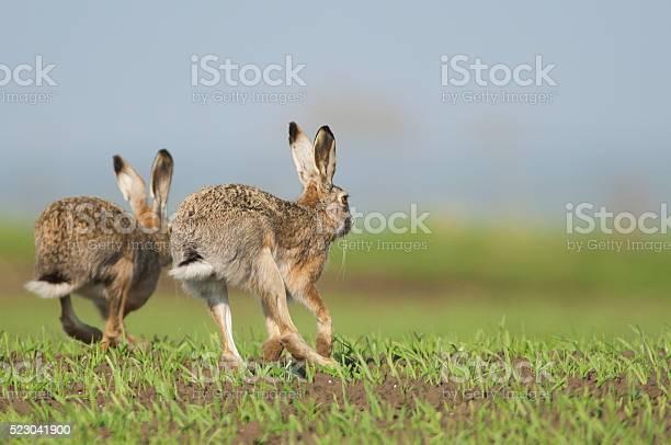 European hare picture id523041900?b=1&k=6&m=523041900&s=612x612&h=u9ljkpd36dq0t5nocvftiwfcmaa8w qoacnwraidrns=