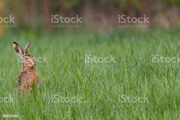 European hare picture id539220402?b=1&k=6&m=539220402&s=612x612&h=w8amtnxkllnkn2d51cpap31dhtc ncuk3uekn uwbt8=