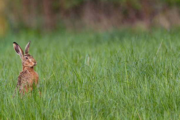 European hare stock photo