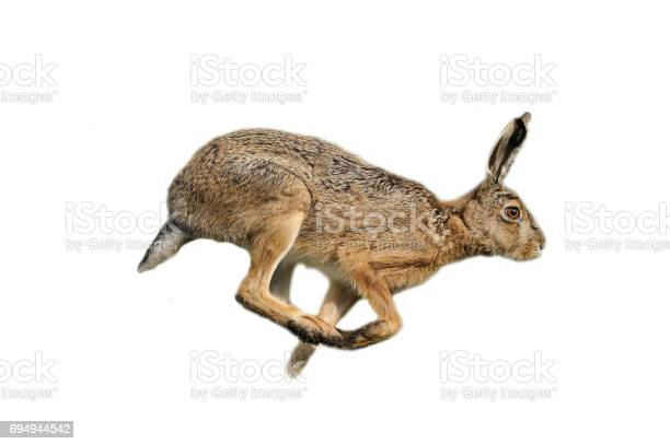 European hare picture id694944542?b=1&k=6&m=694944542&s=612x612&h=wgw s7hh7qbg klhtblfuyc4exmhbluc n8drpx7mlu=
