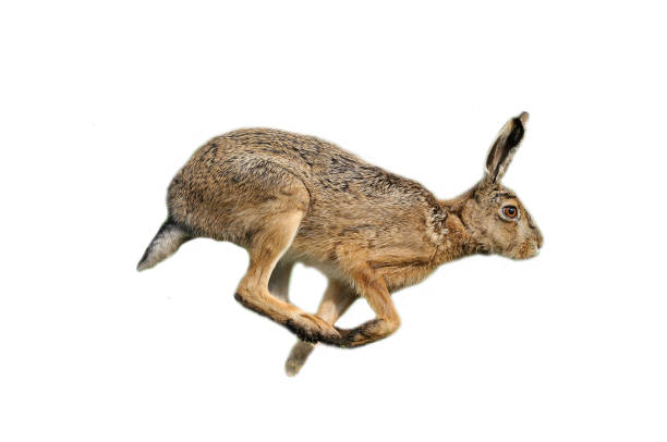 European hare (Lepus europaeus) stock photo