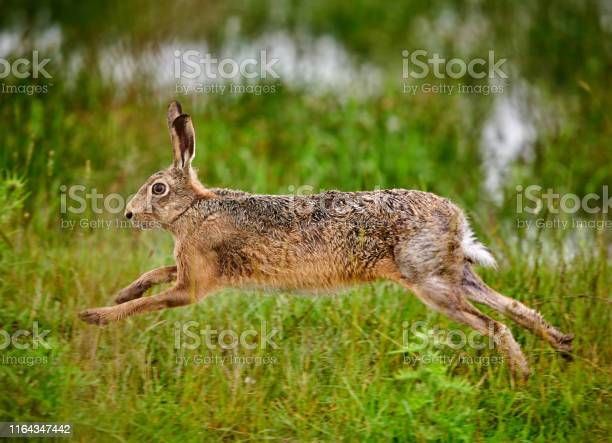 European hare running in a meadow picture id1164347442?b=1&k=6&m=1164347442&s=612x612&h=lan84sermvtpep85jwm6bpypevsofo5opvesdoyvjhm=