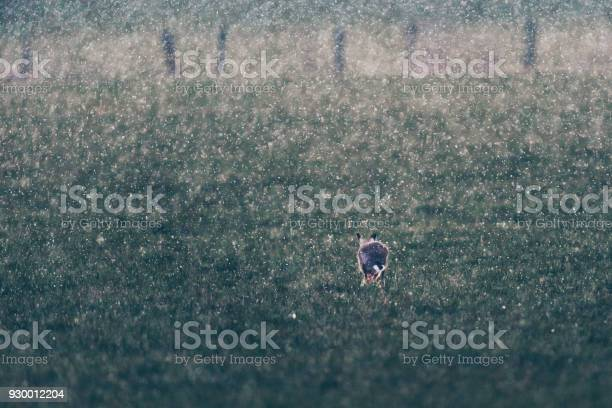 European hare running in field during snowstorm rear view backlit by picture id930012204?b=1&k=6&m=930012204&s=612x612&h=f 9qkdmweam0oz2xj u5v0kzyhy7rwvljh09d3y7auw=