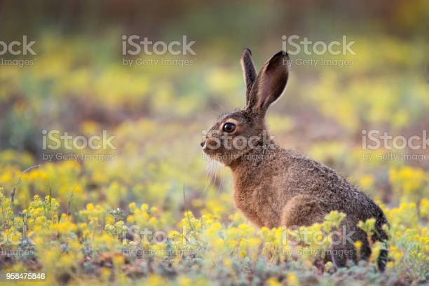 European hare stands in the grass and looking at the camera picture id958475846?b=1&k=6&m=958475846&s=612x612&h=jlttwu8vaz c qawvpwgyekzrodixcs vg hx0zuxrs=