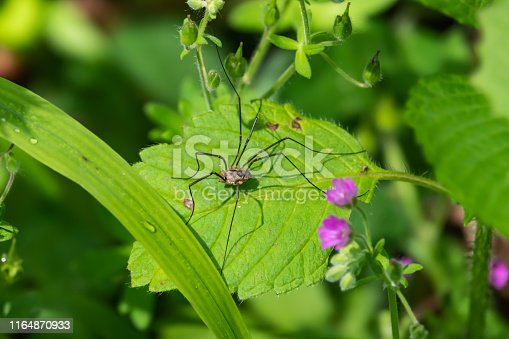 European harvestman (Phalangium opilio) on leaf in springtime