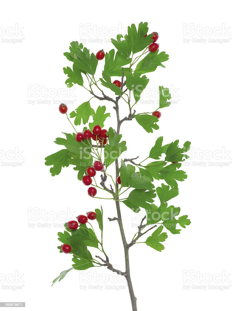 European hawthorn - Crataegus oxyacantha stock photo