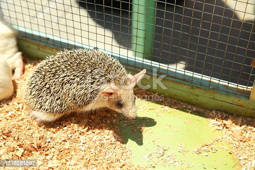 Sharpened hedgehog stuck in a cage . European hedgehog caught in a trap intended for a rodent such as a rat.