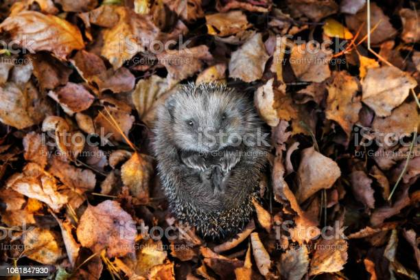 European hedgehog is sleeping in autumn leaves picture id1061847930?b=1&k=6&m=1061847930&s=612x612&h=zojitc7uqmmhjimbl7c2ixpb9ksyo0vchsibph5nn g=