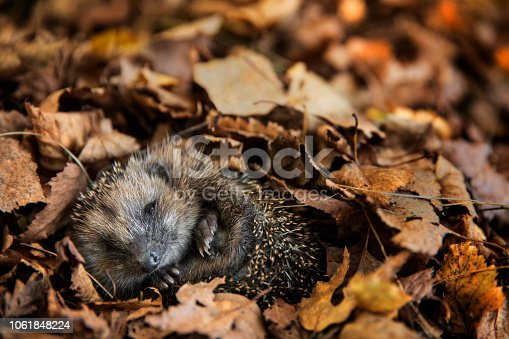 istock European hedgehog (Erinaceus europaeus) is sleeping in autumn leaves 1061848224