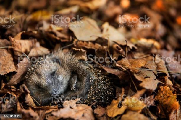European hedgehog is sleeping in autumn leaves picture id1061848224?b=1&k=6&m=1061848224&s=612x612&h=cjqghhdz9shslwi2yi9 v8gpdbnh67 ecgaic jtaog=