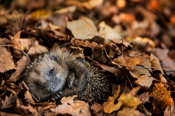 European hedgehog is sleeping in autumn leaves picture id1061848224?b=1&k=6&m=1061848224&s=612x612&w=0&h=wgebstpc8jdqfkgibea3udojir6fqmjhiic4e9evdi8=