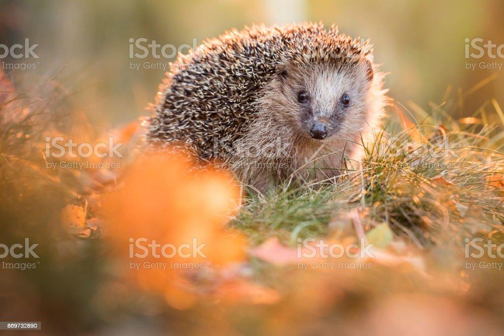 European hedgehog stock photo