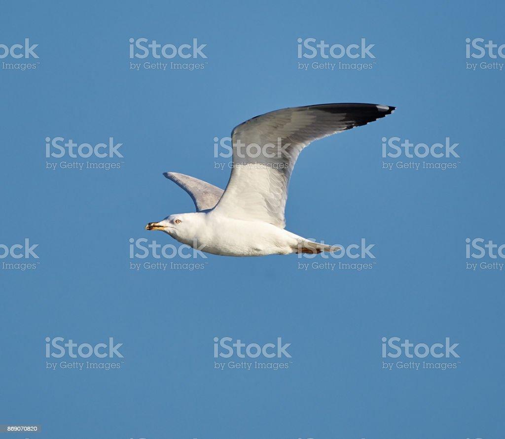 European herring gull in flight stock photo