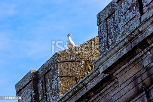 European herring gull (Larus argentatus) on City Wall in Saint-Malo, Brittany, France