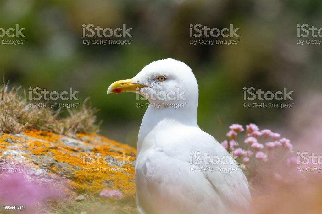 Européen du Goéland argenté (Larus argentatus) perché sur la falaise de Cornish - Photo de Angleterre libre de droits