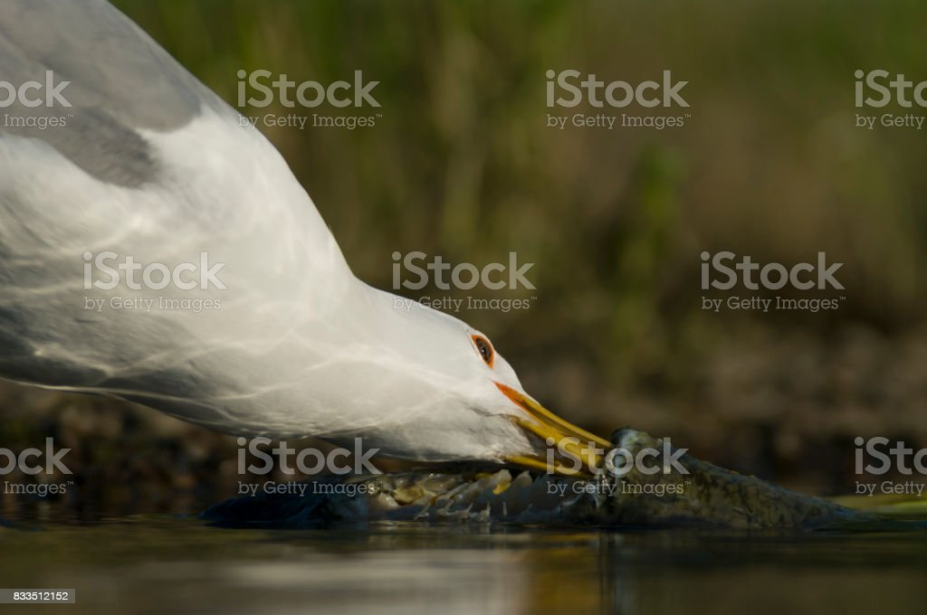 European herring gull – Foto