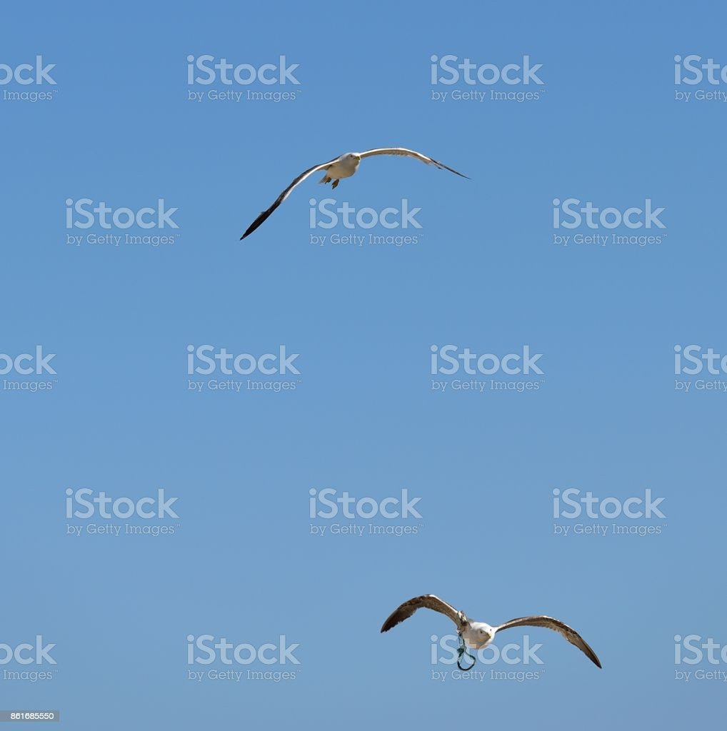 European herring gull stock photo