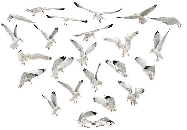 aringa europea gabbiani, larus argentatus, 4 anni, volante - uccello marino foto e immagini stock
