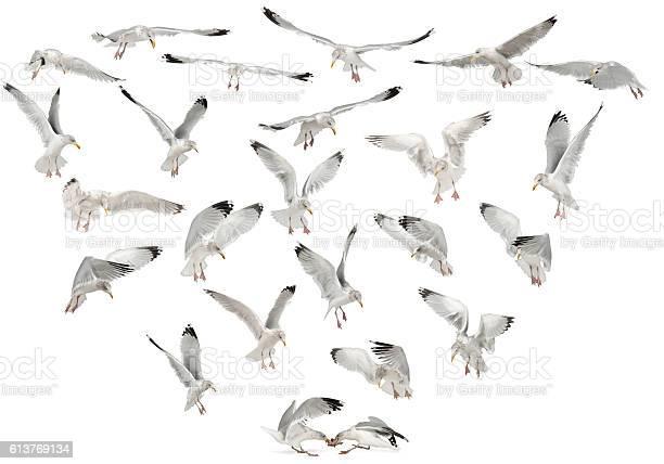Photo of European Herring Gulls, Larus argentatus, 4 years old, flying