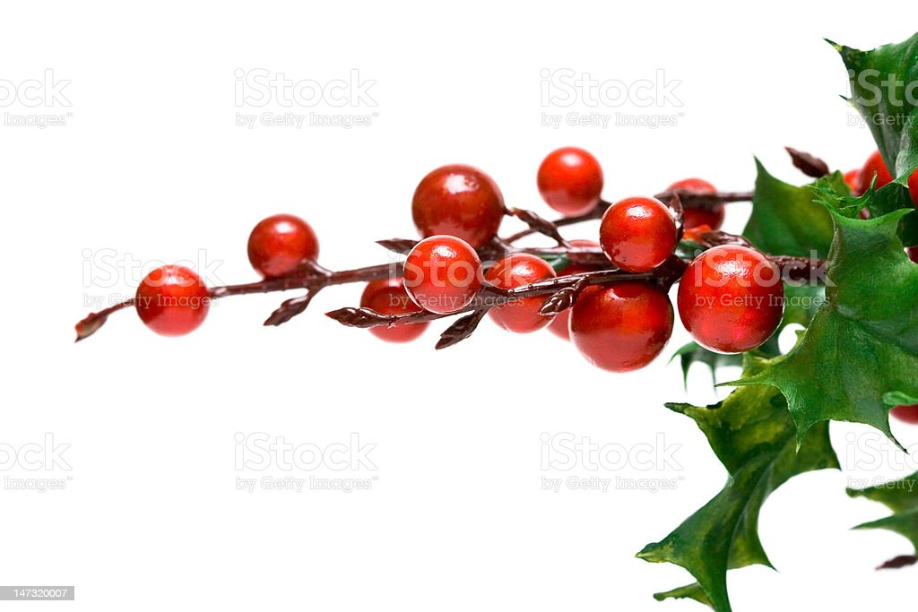 european holly isolated on white background royalty-free stock photo