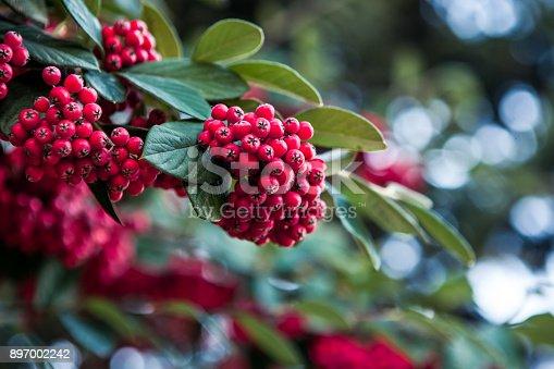 European Holly (Ilex) leaves and fruit