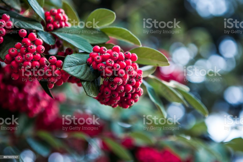 European Holly leaves and fruit - Llex stock photo