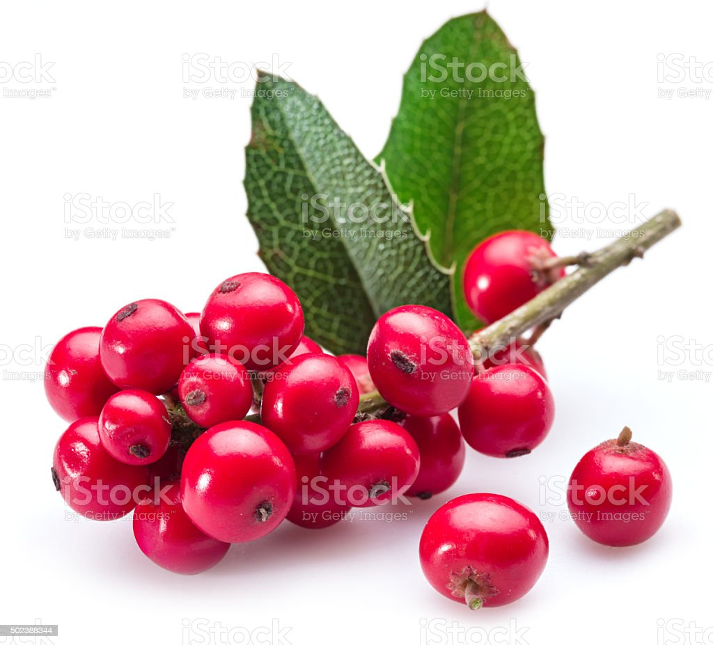 European Holly leaves and fruit on a white background. stock photo