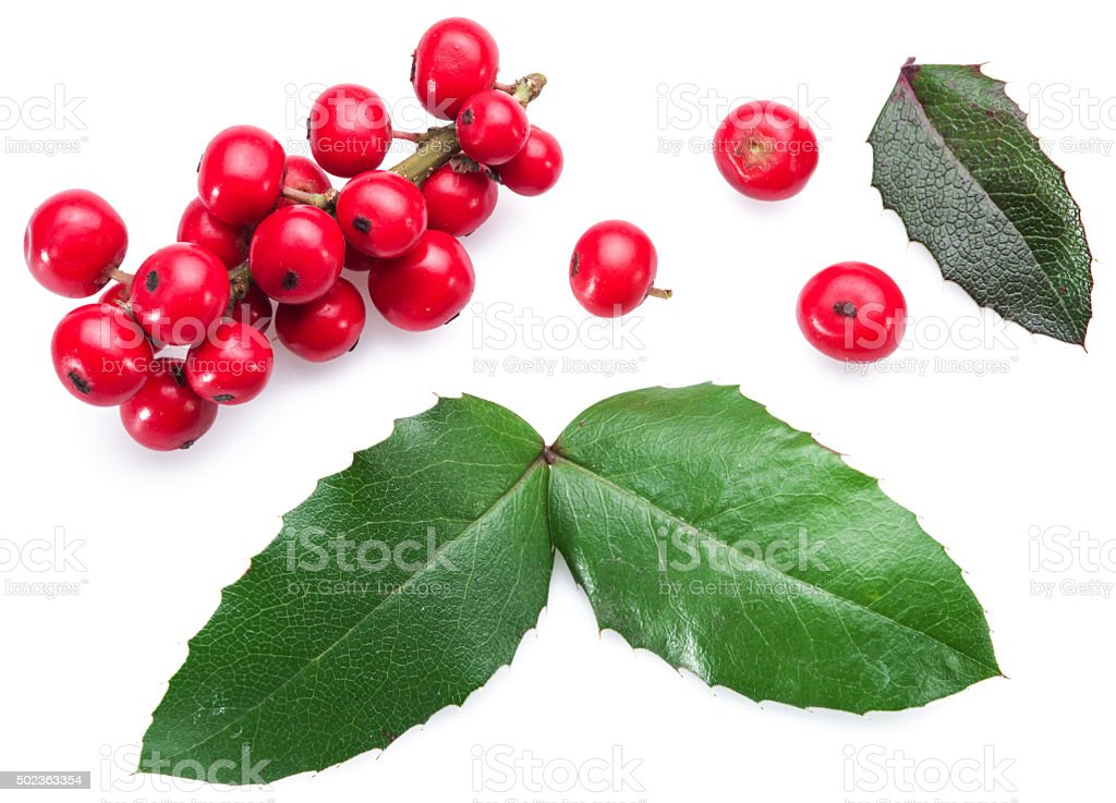 European Holly leaves and fruit. stock photo