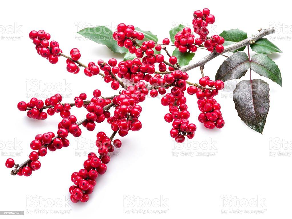 European Holly (Ilex) leaves and fruit. stock photo