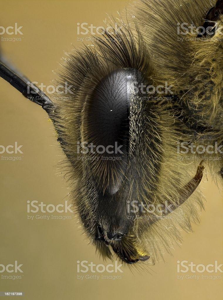 European Honey Bee [Apis mellifera] royalty-free stock photo
