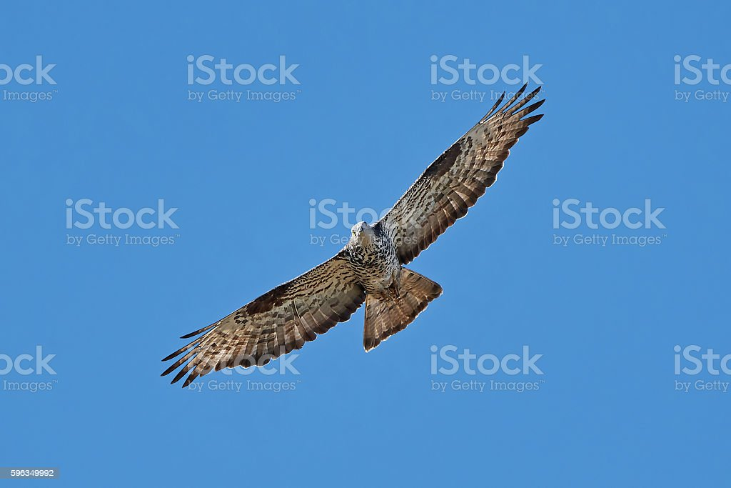 European honey buzzard (Pernis apivorus) Lizenzfreies stock-foto