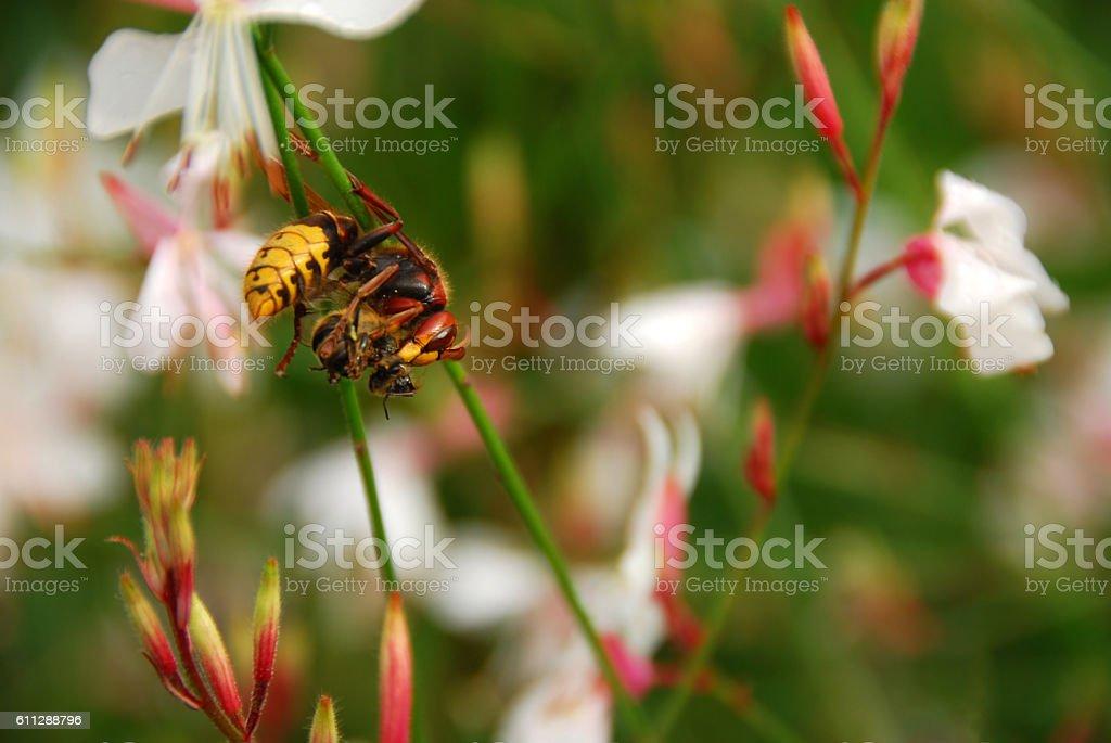 European hornet between the Gaura lindheimeri stock photo