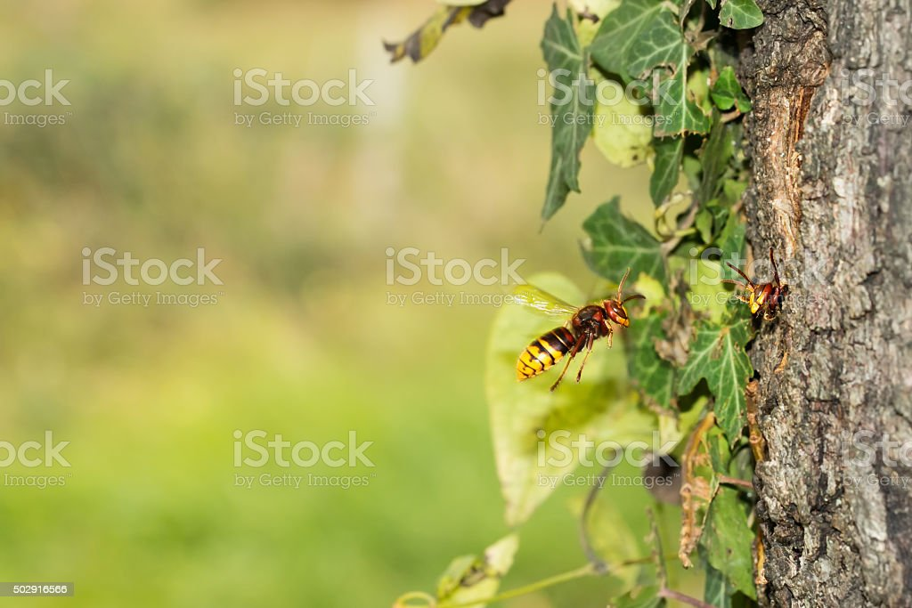 European hornet (vespa Crabro) flying to the nest stock photo