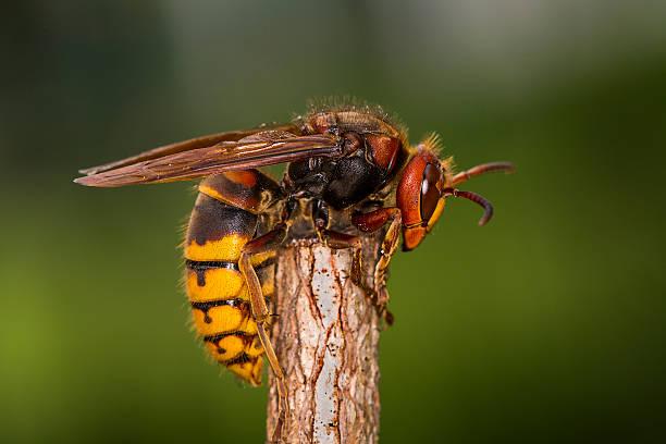 European hornet (Vespa crabro) stock photo