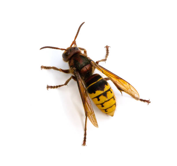 european hornet - introduced species stock pictures, royalty-free photos & images